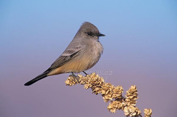 Say's Phoebe, Sayornis saya,adult, Bosque del Apache National Wildlife Refuge , New Mexico, USA, December 2003
