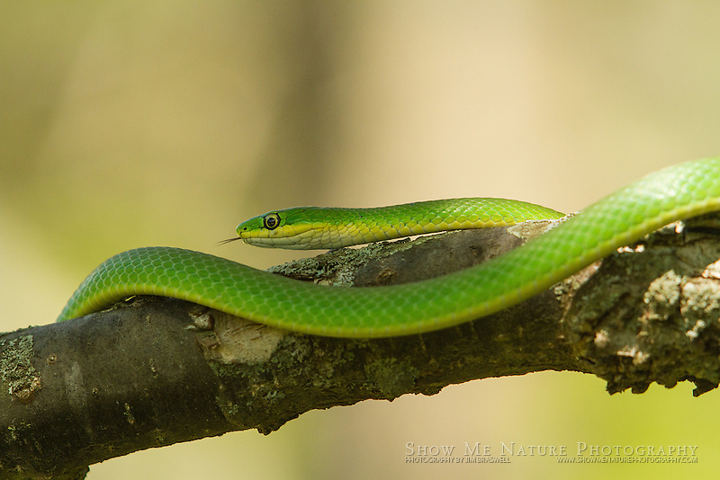 Rough Green Snake in a small tree