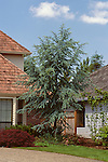 9157-CD Blue Atlas Cedar, Cedrus atlantica glauca, specimen in front yard at Tualatin, Oregon