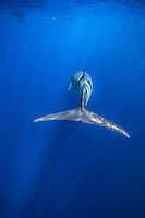 Dappled light and sun beams on Minke whale with snorkelers above. (Photo by Wildlife Photographer Matt Considine)