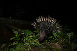 Indian Crested Porcupine (Hystrix indica) near house at night, Colombo, Sri Lanka