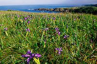 California, Mendocino County, Albion, Wild Iris flowers on hillside