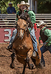 Canadian Team member try to complete Team Bronc riding event at the 62nd annual Mother Lode Round-up on Sunday, May 12, 2019 in Sonora, California.  Photo by Al Golub