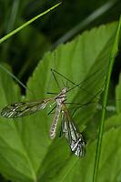 Schnake, Männchen, Tipula varipennis, Tipula variipennis, crane fly, crane-fly, Schnaken, Tipulidae, crane flies, crane-flies, daddy-long-legs