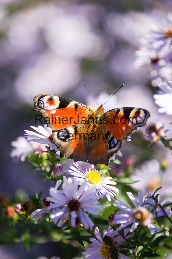 The European Peacock (Aglais io), commonly known as the Peacock butterfly   Tagpfauenauge (Inachis io) aus der Familie der Edelfalter (Nymphalidae)
