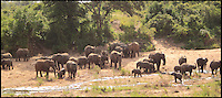 BNPS.co.uk (01202 558833)<br /> Pic: ChrisJek/BNPS<br /> <br /> ***Please Use Full Byline***<br /> <br /> Short cut from Trunk road...<br /> <br /> All the herd safely down...<br /> <br /> Lucky photographer Chris Jek captured this amazing spectacle of a herd of Elephants taking a shortcut to a river in the Kruger National Park earlier on this year.<br /> <br /> The hilarious spectacle involved over 60 of the massive mammals sliding and rolling down a steep sandy bank to reach a watering hole in the Sabie river.<br /> <br /> But with a adult male weighing in at over 7 tons the ungainly excursion needed very careful choreographing to prevent some of the youngster's getting squashed.