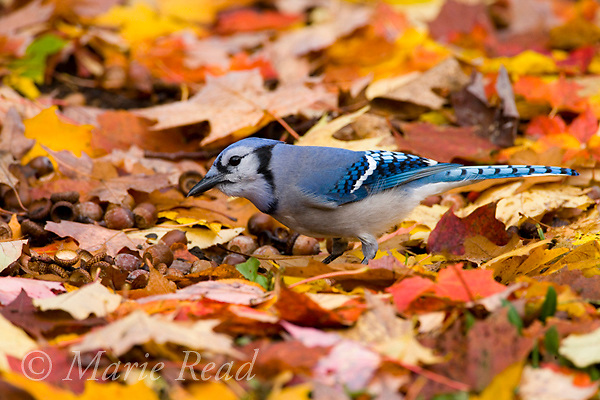 Blue Jay (Cyanocitta cristata) foraging for acorns among fallen leaves in autumn, New York USA