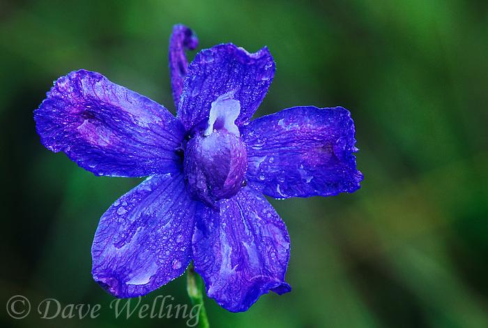 145860001 a rare wild blue larkspur subspecies delphinium parryi v blaochmanae covered in rain drops blooms in a small shaded area in san luis obispo county california