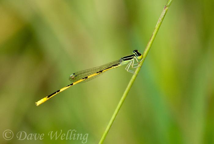 341770011 a wild male citrine forktail damselfly ischnura hastata perches on a grass stem in patagonia lake state park santa cruz county arizona united states