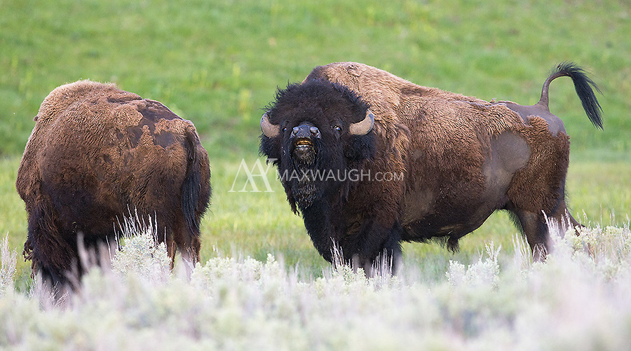 This bison bull was a bit early, sniffing females out a couple months before the late summer rut.
