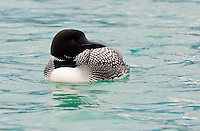 Great Northern Diver (Common Loon) - Gavia immer - summer adult