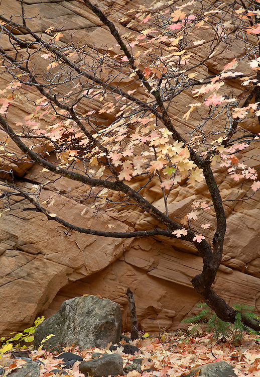 A bigtooth maple (Acer grandidentatum) shows pastel autumn colors against the sandstone cliff walls of Pumphouse Wash