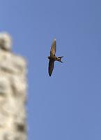 Pallid Swift - Apus pallidus