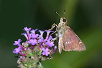 Tiny Butterfly, Skipper, Little Glassywing, Pompeius verna