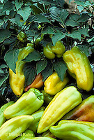 HS41-011c  Pepper - Montego variety