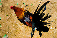 A fighting cock's tail seen in the breeding station in Cucuta, Colombia, 1 May 2006. Cockfight is a widely popular and legal sporting event in Colombia. People take advantage of cock's natural, strong will to fight. Birds are specially trained to increase their aggression, stamina and to improve their fighting techniques. They are given the best of food, care and sometimes even a doping, basically in the same way like professional athletes are. Brave cocks are highly treasured. If a fighting cock wins certain number of matches breeders keep him for reproduction and do not let him fight anymore.