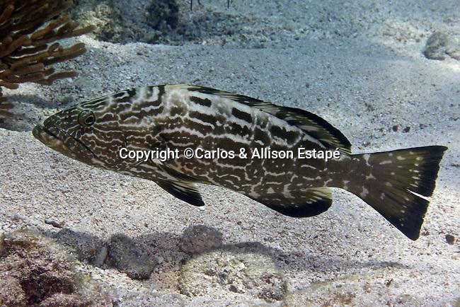 Mycteroperca bonaci, Black grouper, Florida Keys