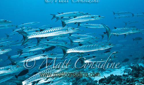 School of chevron barracuda Palau Micronesia. (Photo by Matt Considine - Images of Asia Collection) (Matt Considine)