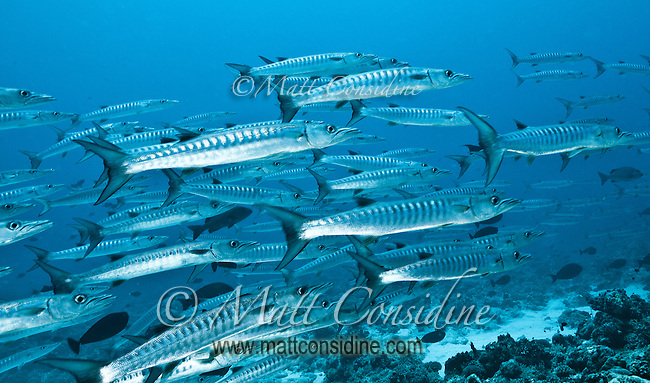 School of chevron barracuda Palau Micronesia. (Photo by Matt Considine - Images of Asia Collection)