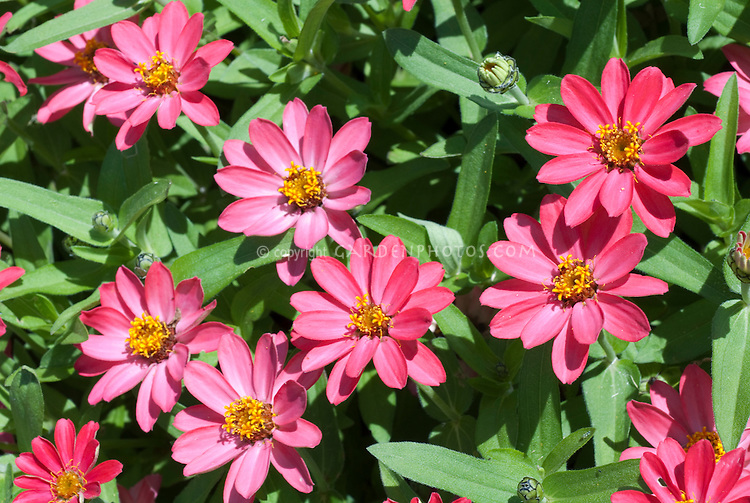 Zinnia 'Profusion Coral Pink' (angustifolia x elegans) summer blooming annuals