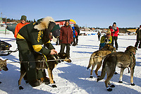 Jeff King unhooks dropped dog *Bernard* from team in White Mountain 2006 Iditarod Alaska Winter