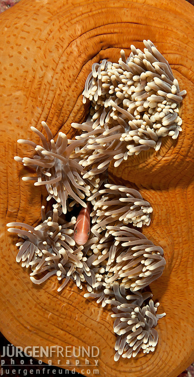 Pink anemonefish (Amphiprion perideraion) in the balled up anemone tentacles.