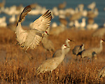 Sandhill Crane Flight & Sunset Landings