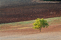Tree in agricultural field, San Quirico d'Orcia, Italy, Tuscany