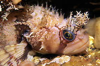 Decorated Warbonnet ( Chirolophis decoratus) underwater in Queen Charlotte Strait, British Columbia, Canada.
