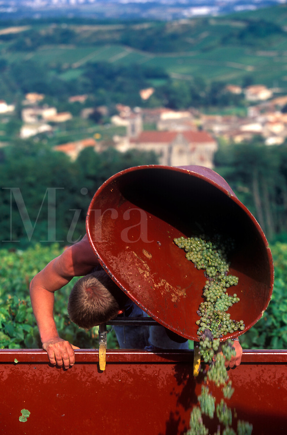 Harvesting wine grapes in the Burgundy region of France.