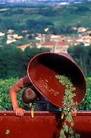 Harvesting wine grapes in the Burgundy region of France.