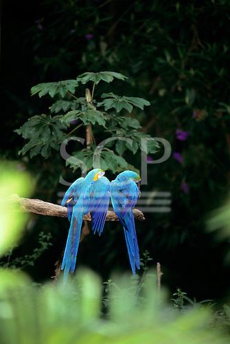 Bahia, Brazil. Blue and gold Macaws in a tree; Arara-canindé (Ara ararauna).