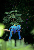 Bahia, Brazil. Blue and gold Macaws in a tree; Arara-canindé (Ara ararauna).