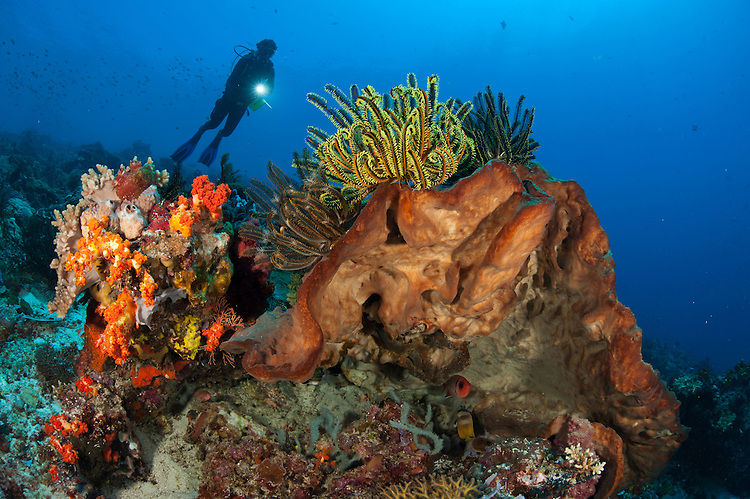 Diver looks on at sponges, soft corals and crinoids in a colourful Komodo seascape