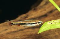 Längsband-Ziersalmler, Längsbandziersalmler, Roter Ziersalmler, Nannostomus beckfordi, golden pencil fish