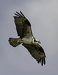 Osprey flying over his nest