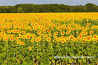 63801-07420 Sunflower field Sam Parr State Park Jasper County, IL