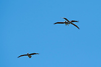 Brown Pelicans, Pelecanus occidentalis, flying over Bodega Bay, California