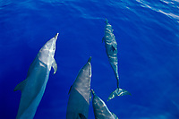 pantropical spotted dolphins, bow-riding, Stenella attenuata, off Kona Coast, Big Island, Hawaii, Pacific Ocean