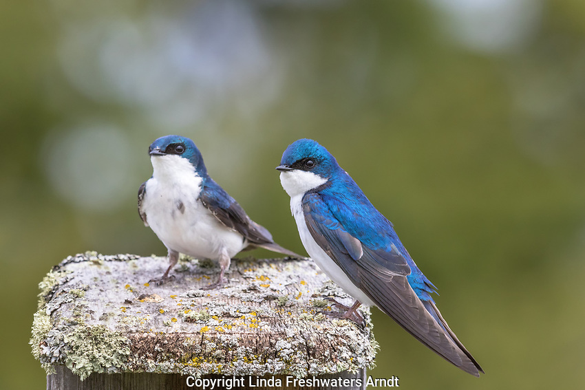 Pair of tree swallows on their nestbox