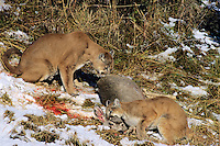 Two Mountain Lions or cougars with freshly killed mule deer. (Puma Concolor)