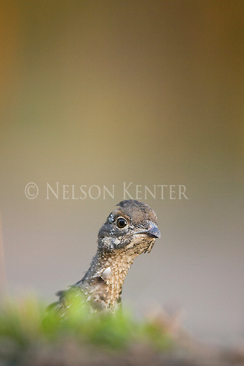 Young Ruffed Grouse peering over a hill
