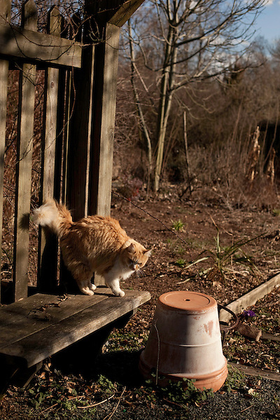 February 2, 2012. Hillsborough, NC.. June Bug the cat plays near a flowerpot..  Nancy Goodwin, who used to run a mail order nursery for rare bulbs, has now preserved her gardens, which in winter, have thousands of blooming flowers and plants, including many rare species which she has cultivated and planted from seeds.