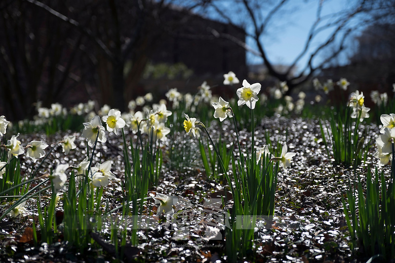 Daffodils near Chapel of Memories.<br />  (photo by Megan Bean / &copy; Mississippi State University)