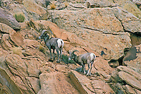 DESERT BIGHORN SHEEP/Nelson's Bighorn Sheep (Ovis canadensis nelsoni) ram and ewe, a subspecies of the Rocky Mountain Bighorn Sheep, has adapted to hot, dry climates by developing longer legs, lighter coats and smaller bodies. Early autumn in Canyonlands National Park, Utah, U.S.A.