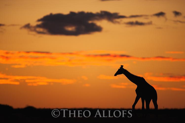 Botswana, Nxai Pan National Park, Giraffe (Giraffa camelopardalis) silhouetted against red sky at sunset