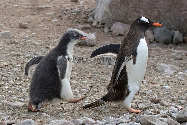 Gentoo penguin chick following parent in the hopes of getting fed, in Antarctica