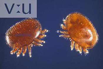 Varroa jacobsoni Mites are parasites of Bees.