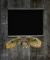 An owl flies out from a ban window.