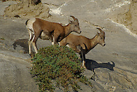 Big Horn Sheep high in the cliffs in Jasper National Park Alberta Canada